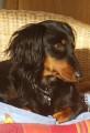 Recherche Teckel nain à poils longs pour saillie