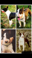 Bull Terrier disponible pour saillie