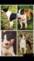 Bull Terrier disponible pour saillie