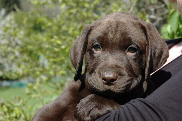 Labradors chocolats LOF à vendre