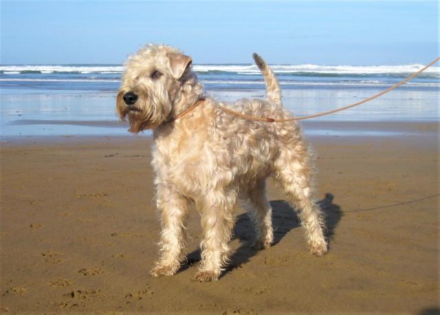 Rare : découvrez le Terrier Irlandais à poils doux