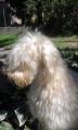 Chiots LOF Terrier Irlandais à poil doux à réserver
