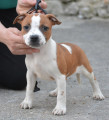 Vend 6 chiots Staffordshire Bull Terrier - 2 mâles & 4 femelles