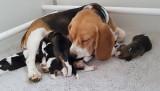 Magnifiques Beagle issus de lignées de champion de beauté