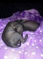 Chiots Chiens Nus du Pérou noir grande taille à vendre