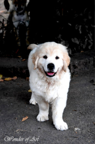 Chiot Golden Retriever LOF disponible de suite