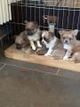 Vend 4 chiots Chihuahua - 1 mâle & 3 femelles