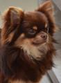 Magnifique chiots Chihuahuas merles et chocolats