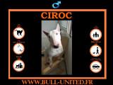 Ciroc, Bull Terrier à vendre