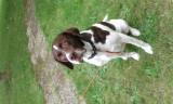 Donne un chien Labrador Retriever mâle