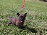 Magnifiques chiots Cairns Terriers LOF à vendre