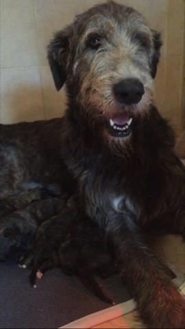 10 chiots Irish Wolfhound à vendre (4 Femelles & 6 Mâles)