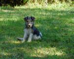 Fox Terriers à poil dur à vendre