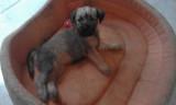 Chiots LOF Terrier Irlandais à poil doux à vendre