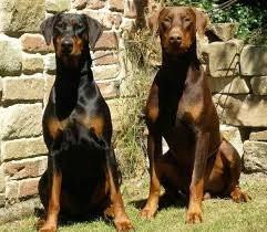 Douce dobermann brune vendre petite annonce chien - Vente dobermann oreilles coupees ...