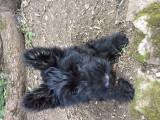 Vend 2 chiots Scottish terrier - 1 mâle & 1 femelle