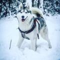 Husky Sibérien LOF confirmé pour saillie, lignée AMAROK