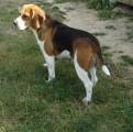 À réserver chiots Beagle LOF