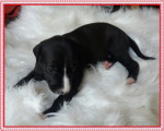 Vend 6 chiots Whippet