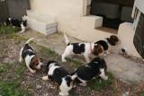 Chiots Beagles mâles & femelles vaccinés/pucés LOF à vendre