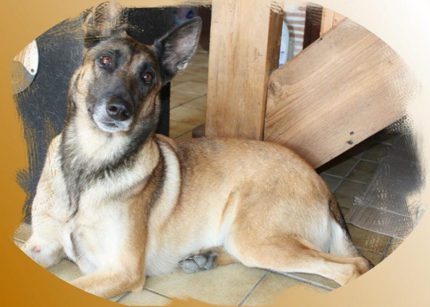 Vend un chien Berger Belge Malinois
