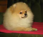 Adorable chiot Spitz Pomeranian à vendre