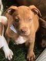 Americans Pitfall Terriers à vendre