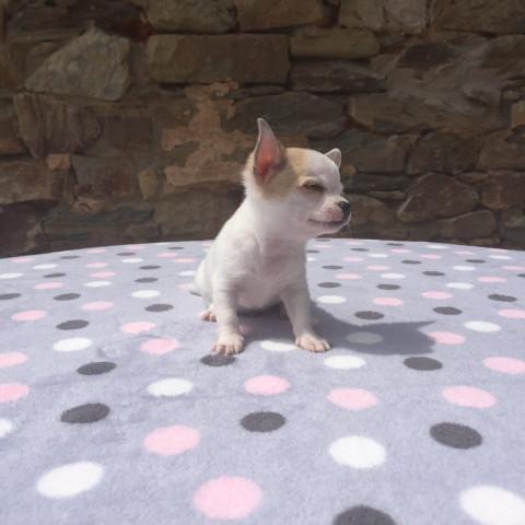6 chiots Chihuahua à vendre (3 Femelles & 3 Mâles) : Petite