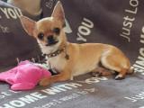 4 superbes mâles Chihuahuas à réserver