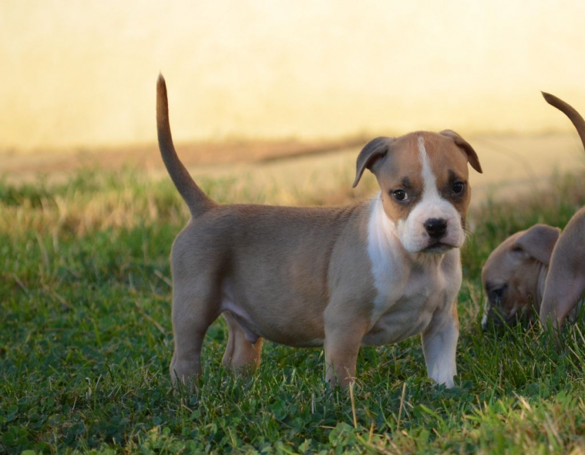 Donne chiots type American Staffordshire Terrier - Amstaff