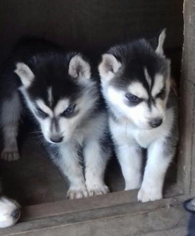 2 Splendides chiots Husky Sibérien