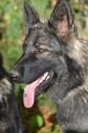 7 femelles chiots Altdeutsche Schaferhund à réserver