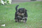 Adorable petite femelle yorkshire terrier