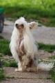 Joli chien chinois LOF
