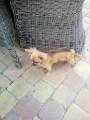 Chihuahua à poils longs à vendre