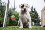 Chiots Bulldogs Américains disponibles