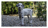 Vend 5 chiots Dalmatiens - 4 mâles & 1 femelle