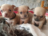 Vend 3 chiots Chihuahua - 1 mâle & 2 femelles