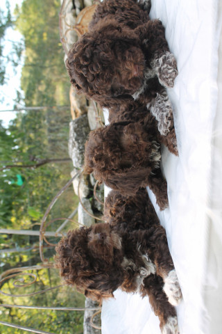 Chiots Lagottos Romagnolos L.O.F (truffiers) à vendre