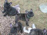 Femelles Bouledogues Français bringées à vendre