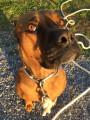 Donne chienne croisée Boxer et Staff, urgent