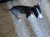Super chiot femelle bringée Bull Terrier de 4mois à vendre