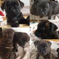 Chiots Staffordshire Bull Terrier LOF à vendre