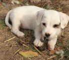Vend un chiot Jack Russell