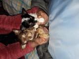 Chihuahuas de petite taille à vendre