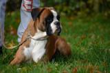 Propose Boxer avec pedigree pour saillie