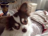 Vend un chien Chihuahua mâle