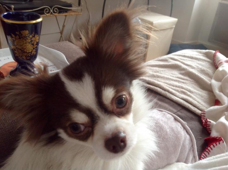 chien Chihuahua Mâle à vendre