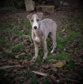 Vends adorables chiots Whippet