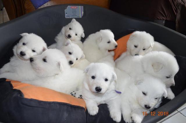 9 chiots Berger Blancs Suisses à vendre (4 Femelles & 5 Mâles)
